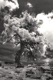 在科罗拉多孤立treet的黑色和墨水红外图象 免版税库存照片