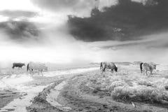 在科罗拉多开放范围的长角牛牛 库存照片