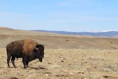 在科罗拉多怀俄明边界的年轻北美野牛 库存图片