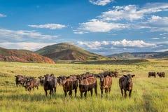 在科罗拉多打开范围牛 免版税图库摄影