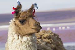 在科罗拉多盐水湖,盐湖,玻利维亚,南美的羊魄 免版税图库摄影