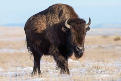 在科罗拉多积雪的高平原的北美野牛  免版税库存图片