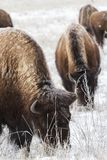 在科罗拉多高平原的北美野牛  库存图片