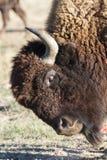 在科罗拉多高平原的北美野牛  图库摄影