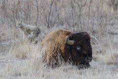 在科罗拉多高平原的北美野牛  免版税库存图片