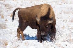 在科罗拉多高平原的北美野牛  免版税库存照片