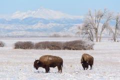 在科罗拉多高平原的北美野牛  免版税图库摄影
