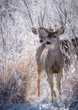 在科罗拉多高平原的野生鹿-两只长耳鹿招呼t 库存照片