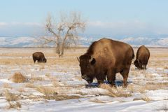 在科罗拉多-基因上纯净的Spec平原的北美野牛  库存图片