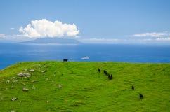 在科罗曼德沿海走道的母牛群有天空蔚蓝的在和在科罗曼德尔半岛,北国,新西兰上 免版税库存照片