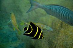 在科苏梅尔墨西哥的热带黄色镶边鱼 免版税库存照片