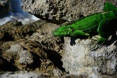 在科苏梅尔海滩的鬣鳞蜥 免版税图库摄影