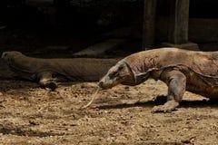 在科莫多岛海岛看见的科莫多巨蜥,印度尼西亚上 库存照片