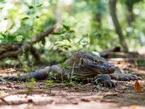 在科莫多岛海岛,印度尼西亚上的监控蜥蜴 库存照片
