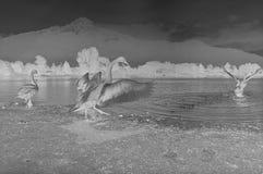 在科莫湖,胶卷画面,黑白模式照相机的消极鸭子 免版税图库摄影