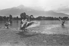 在科莫湖,胶卷画面,黑白模式照相机的鸭子 免版税图库摄影