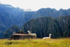 在秘鲁山坡的两白色骆马 免版税库存图片