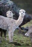 在秘鲁的山的羊魄 免版税库存图片