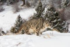 在积雪的山坡的雪豹 库存图片