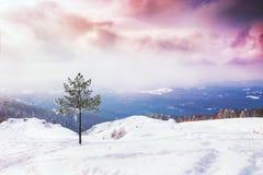 在积雪的山的一棵杉树在日落 库存图片