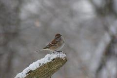在积雪的日志栖息的北美歌雀 库存照片