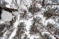 在积雪的杉树上面的底视图在多云da 免版税库存照片