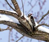 在积雪的肢体的一只柔软的啄木鸟 免版税图库摄影