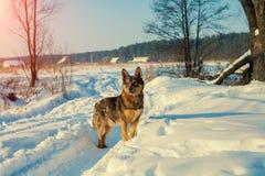 在积雪的路的一条狗 库存照片