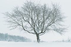 在积雪的领域的光秃的树 图库摄影