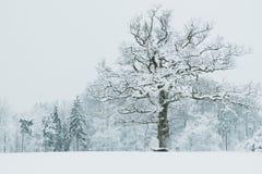 在积雪的风景的橡树 免版税库存照片