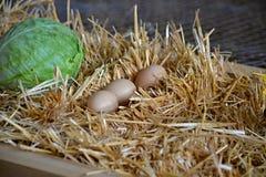 在秸杆下的3个鸡蛋 免版税图库摄影