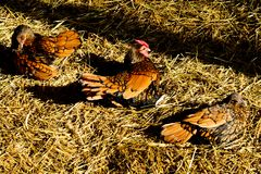 在秸杆的三只母鸡 免版税库存图片