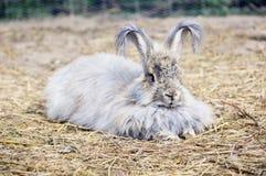 在秸杆的安哥拉猫兔子 免版税库存图片