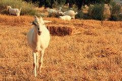 在秸杆的山羊 图库摄影