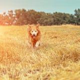 在秸杆的金毛猎犬 免版税库存照片
