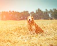 在秸杆的金毛猎犬 免版税图库摄影