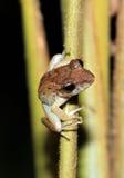 在秸杆的青蛙 免版税库存照片