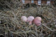 在秸杆的鸡生物鸡蛋 未加工的鸡蛋在农村农场的早晨 免版税库存图片