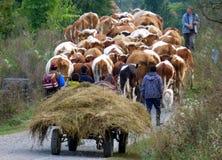 在移动的牛牧群 免版税图库摄影