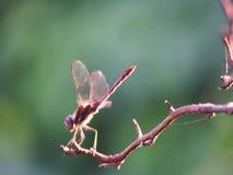 在稀薄的枝杈的蜻蜓温暖的翼 股票录像