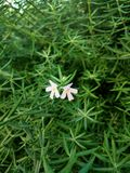 在稀薄的绿色叶子背景的两束小白花  免版税库存照片