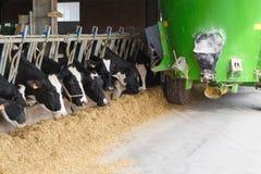 在稳定吃的母牛与青绿饲料罐车 图库摄影