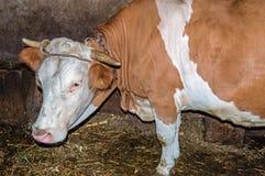 在稳定的身分的特写镜头母牛在干草 图库摄影