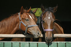 在稳定的门的三只好的纯血种马驹 库存照片