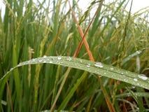 在稻叶子的露水 图库摄影