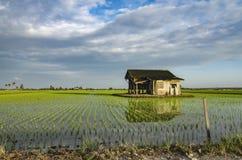 在稻田中间的被毁坏的木房子 库存图片