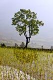 在稻田的一个结构树 免版税库存图片