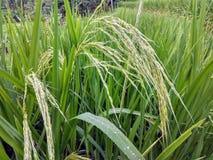 在稻田的成熟的米在巴厘岛,印度尼西亚 免版税库存图片