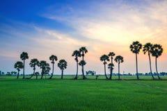 在稻米的桄榔树 免版税库存图片