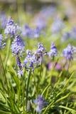 在穆斯卡里或葡萄风信花的蜂 免版税库存图片